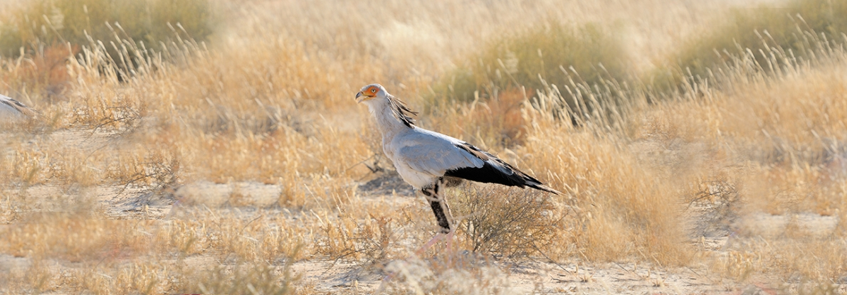 Drakensberg Secretary Bird Facts